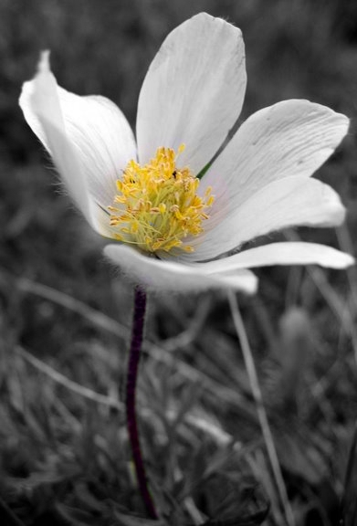 Blumenbilder Schwarz Weiß schwarz weiss bilder mit selektiver färbung krawutzi