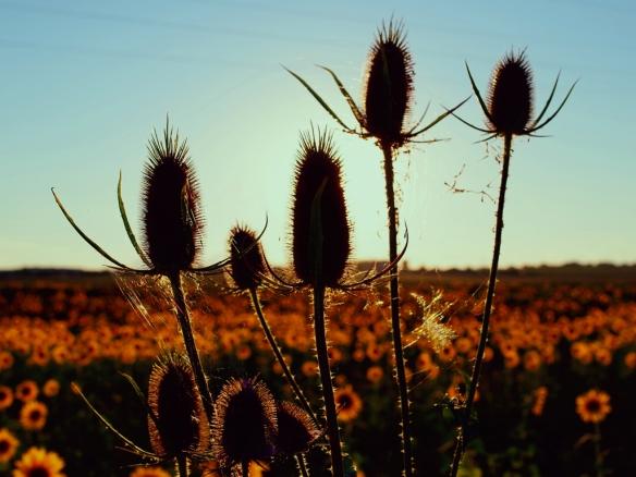 Disteln Sonnenblumen Technicolor