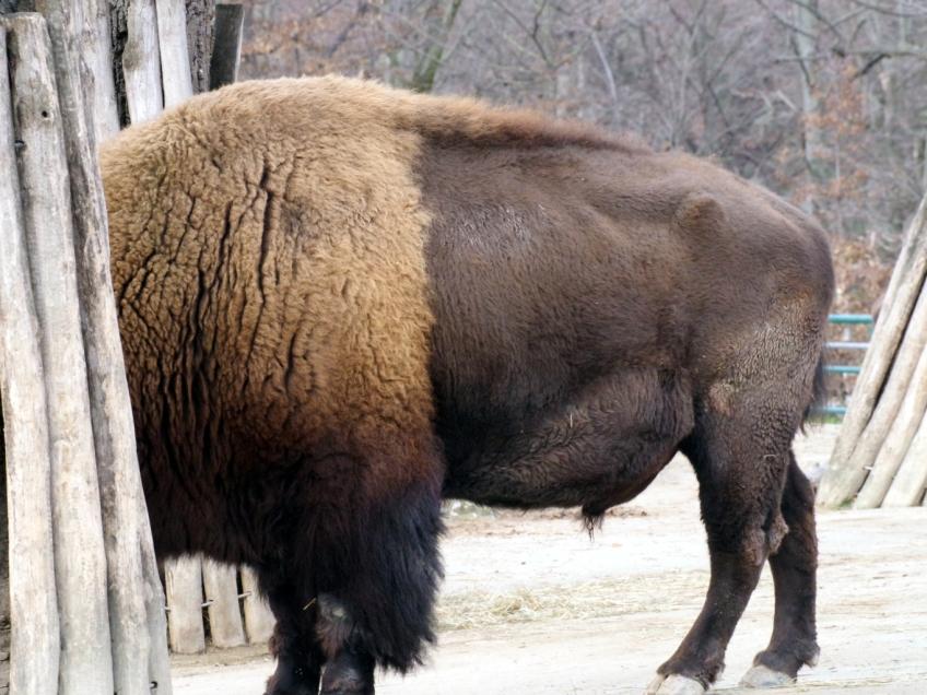03-Bison