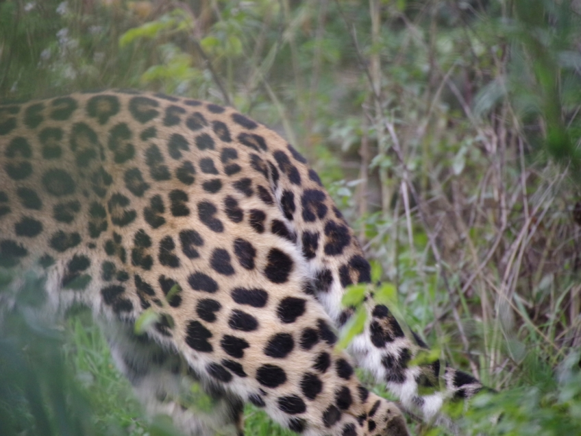 07-Leopard