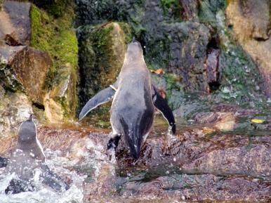 09-Pinguin