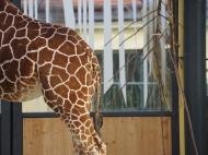 13-Giraffe