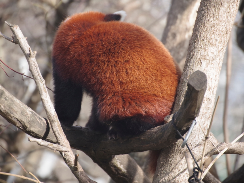 15-Roter-Panda